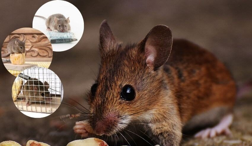 How-to-get-rid-of-mice-in-the-walls